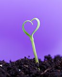 Spring seedling in shape of heart