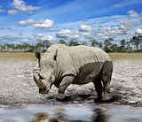 Rhino (rhinoceros) 