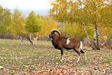 mouflon in fall season