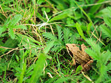 Frog In Grass