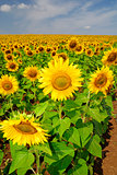 Sunflower field under the summer sky