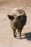 Mangalitza