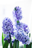 Purple hyacinths
