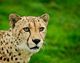 Cheetah Acinonyx Jubatus Big Cat