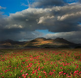 Landscape of poppy fields in front of mountain range with dramat
