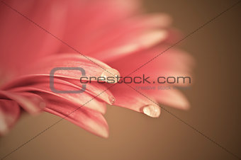 Beautiful muted color gerbera daisy flower with shallow depth of