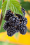 Blackberries ripening on the shrub