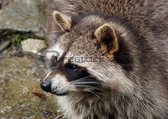 Raccoon and water