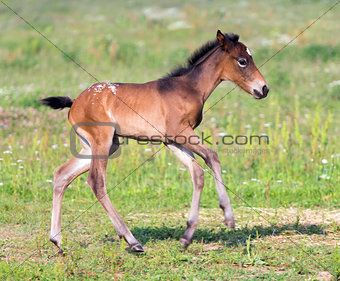 Nice little foal running on pasture