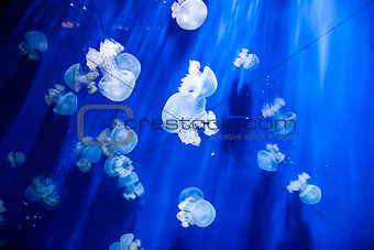 Jellyfish in an aquarium with blue water