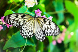 White and black Nimph butterfly on flowers