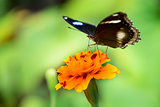 Black butterfly on yellow flower 