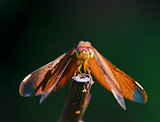 Red dragonfly resting on branch 
