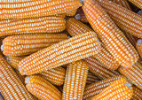 Yellow dried corn