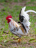 White Bantam 