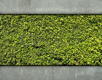 Cement wall and green leaf