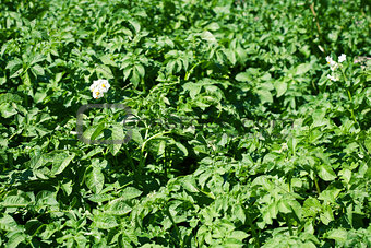 Blossom of potato flowers
