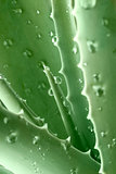 aloe plant,a close-up with drops