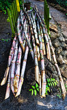 Fresh Sugar Cane, stack of sugar cane sticks