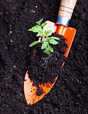 Young tomato seedling on small spade