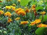 Tagetes flowers