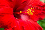 Large Red Hibiscus