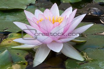 Pale Pink Water Lily (Nymphaea)