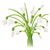 Snowdrop Flowers