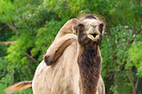 Camel