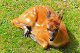 Bushbuck Antelope