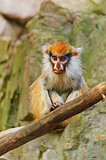 Patas Monkey
