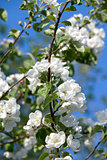 Flowers Blooming Apple Tree