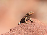 Languid Lizard
