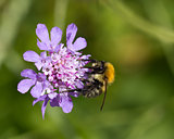 Bee on Scabious Flower