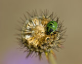 Green Shield Bug on Scabious