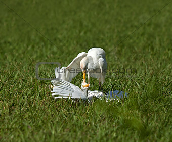 Cattle Egret Attack