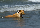 Dog in Shallow Waves