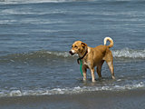Dog Standing in Shallow Waves