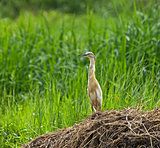 Squacco Heron