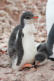 Chick penguin