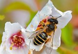 Close-up of a honey bee