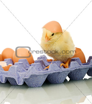 Small chicken with eggs