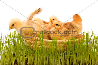 Spring chickens in a basket