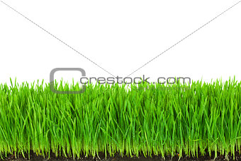 Green  Grass with Fertile Soil and Drops Dew