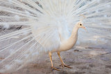 white peacock