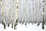 Russian winter - Birch Grove