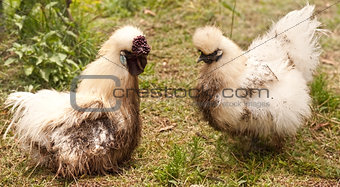 dirty pair of silkie fowls rooster and hen after dirt bath