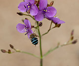 Australian wildflower murdannia and native solitary bee Amagilla