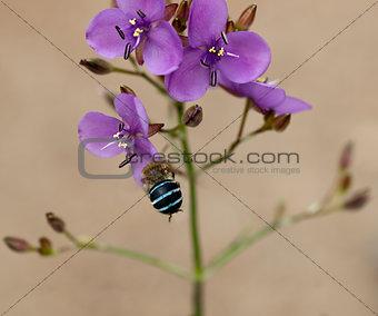 Australian wildflower murdannia and native solitary bee Amagilla