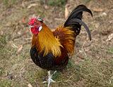 Rooster male silkie pekin cross free range poultry